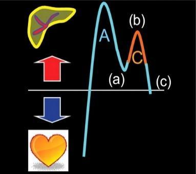 The tricuspid annulus begins to move toward the cardiac apex and the retrograde velocity of flow toward the liver begins to decrease.