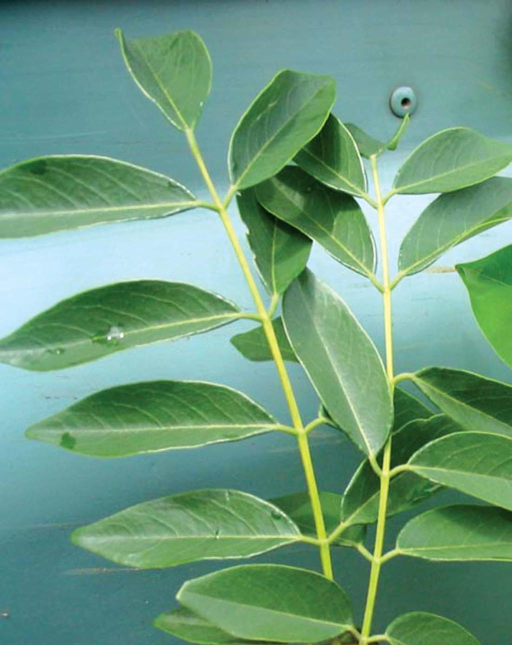plants betes. In Siddha system of medicine, the plant has been prescribed against painful joints, peripheral neuritis, constipation, and burning feeling during urination.